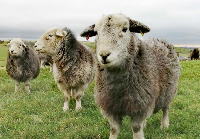3 herdwick-sheep