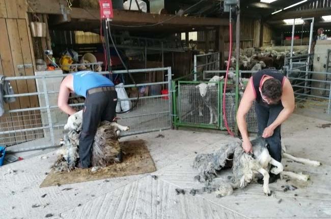 herdwick-sheep-shearing