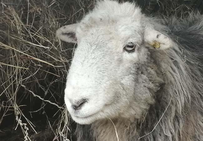 moss-pet-sheep