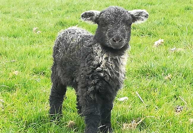 herdwick-lamb
