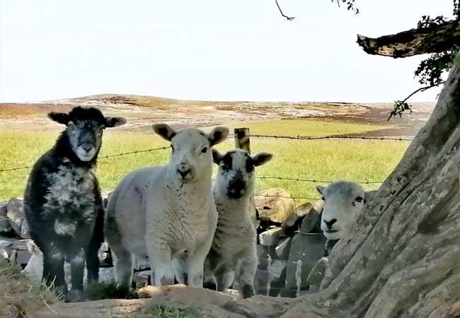 herdwick-lambs