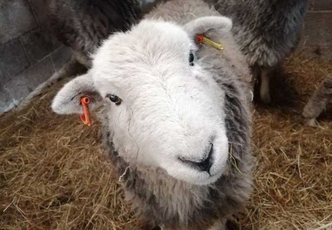 lamb-with-mother