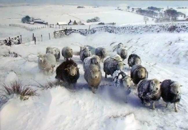 herdwick-sheep-in-snow