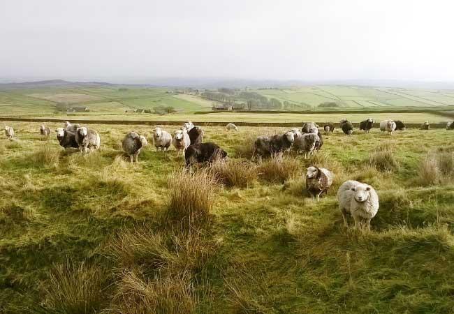 herdwick-sheep-moors