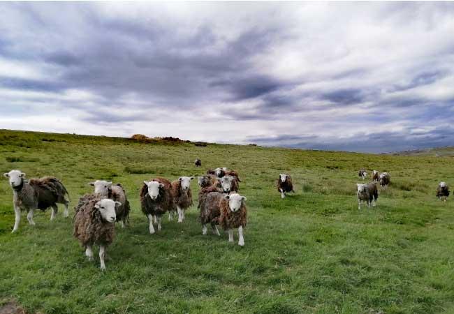 herdwick-sheep-under-stormy-sky