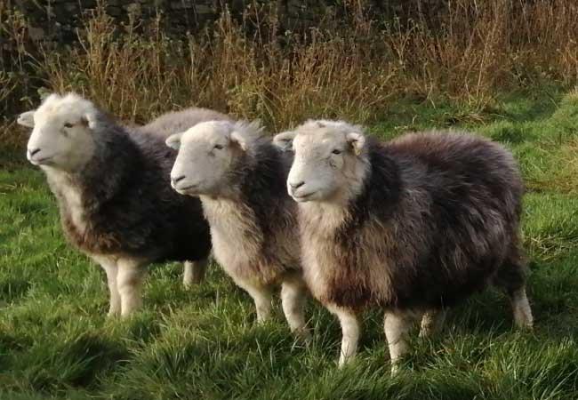 three-herdwick-sheep