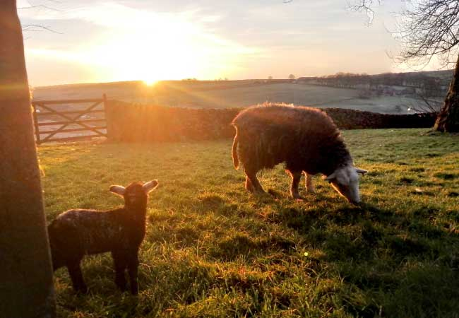 sheep-with-lamb-sunset-view