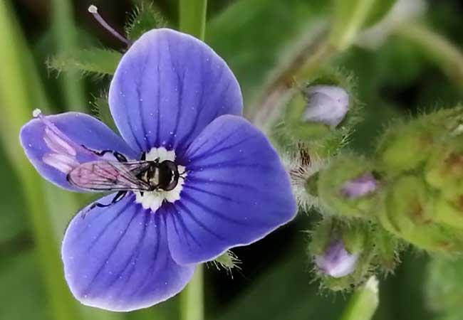 speedwell-flower