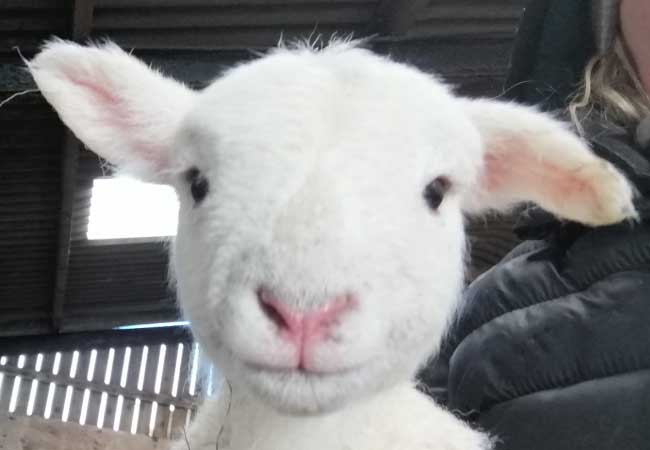 white-lamb