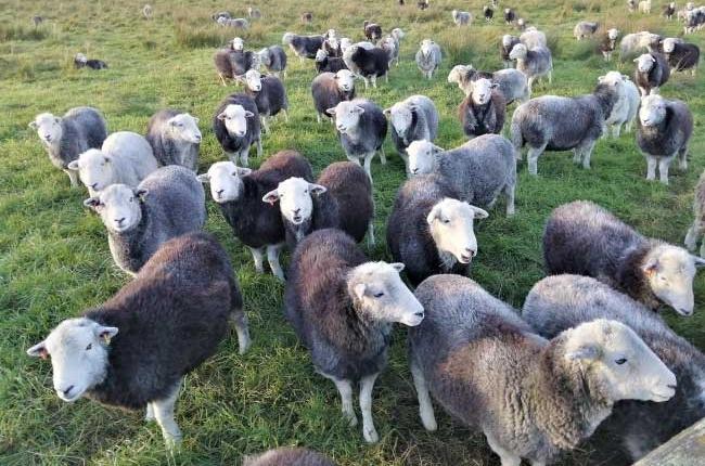 herdwick-sheep-group