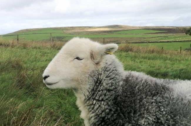 happy-herdwick-sheep